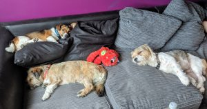 Three small dogs laying on the sofa feeling at home