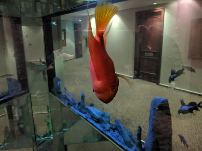 A orange fish in the tank at the hotel of the blogging conference