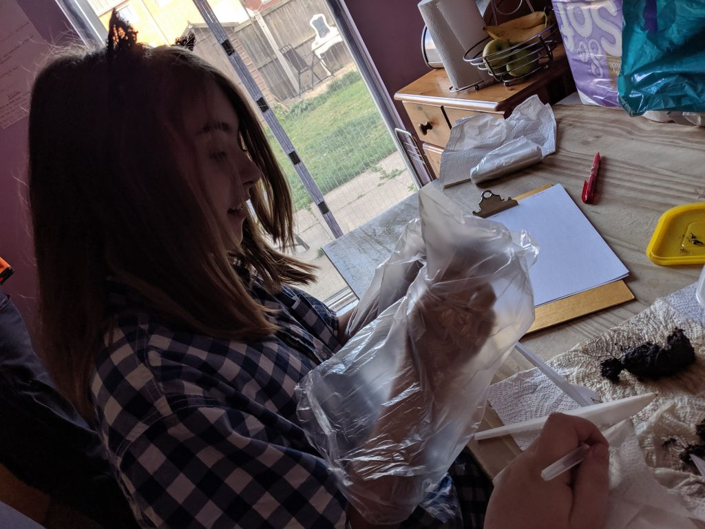 Girl putting her hand inside a plastic bag while dissecting owl pellets in homeschool