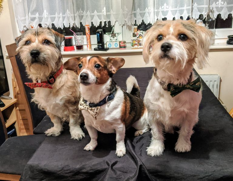 3 dogs wearing Christmas bow ties