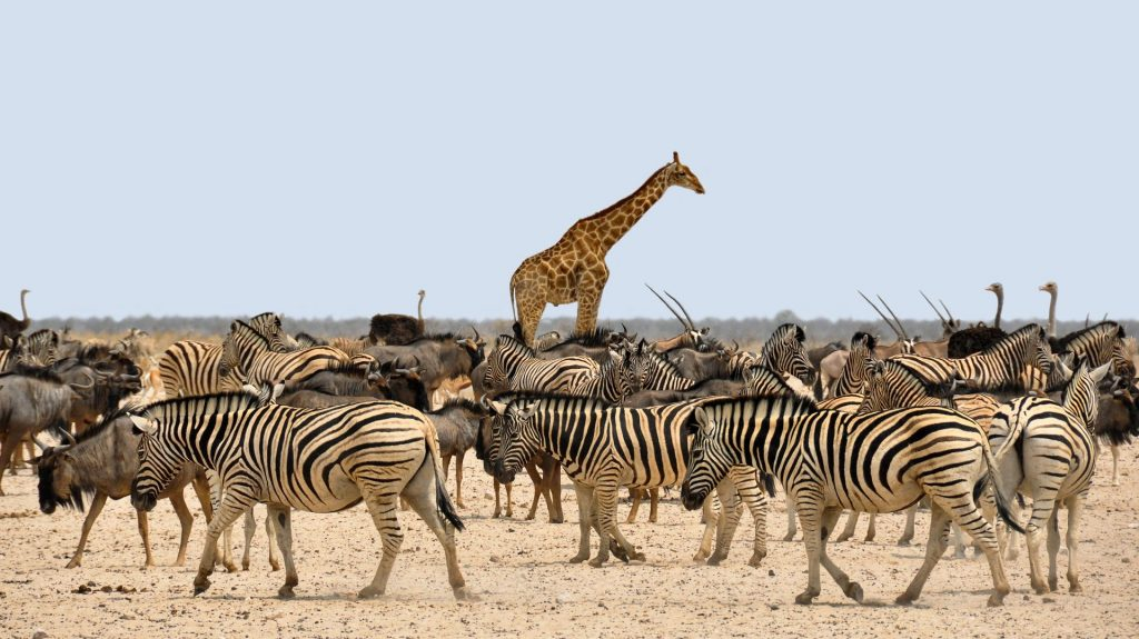 African animals in the savannah, mostly zebras with a giraffe standing tall in the middle of them all