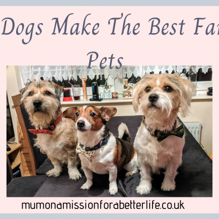 3 crossbreed dogs sitting on a table with bowties on their collars