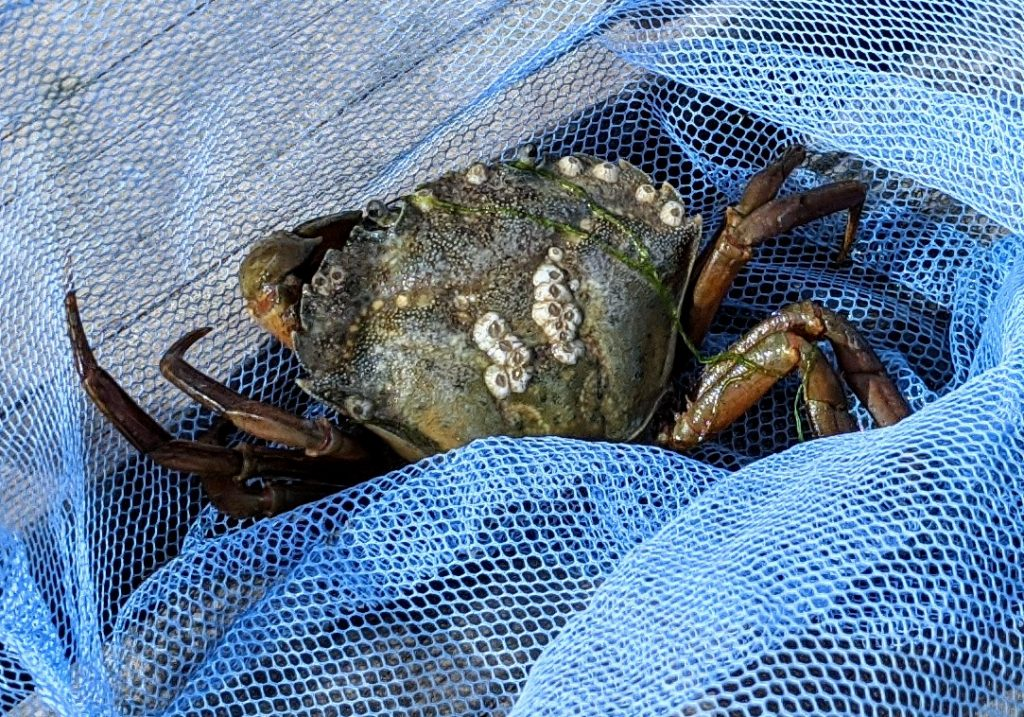 Crab inside a blue net
