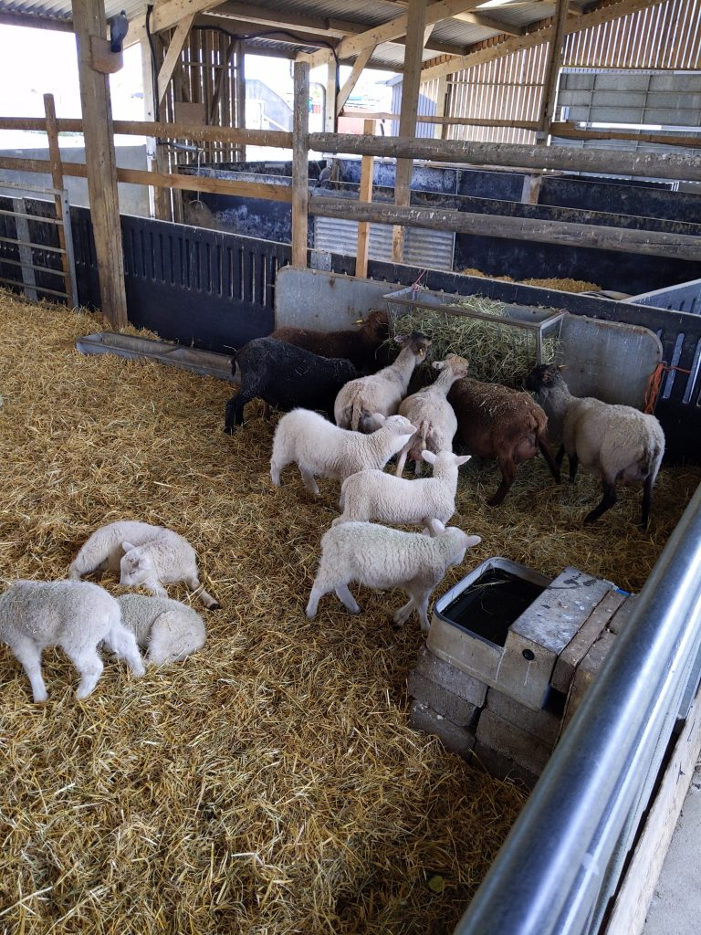 Stable with ten lambs inside at Marsh Farm